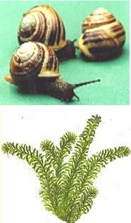 what is the relationship between snails and elodea
