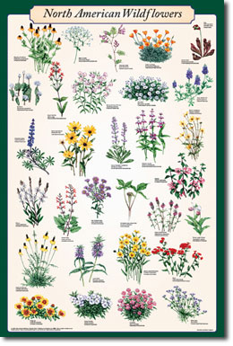 North American Wildflowers Poster - Delta Education